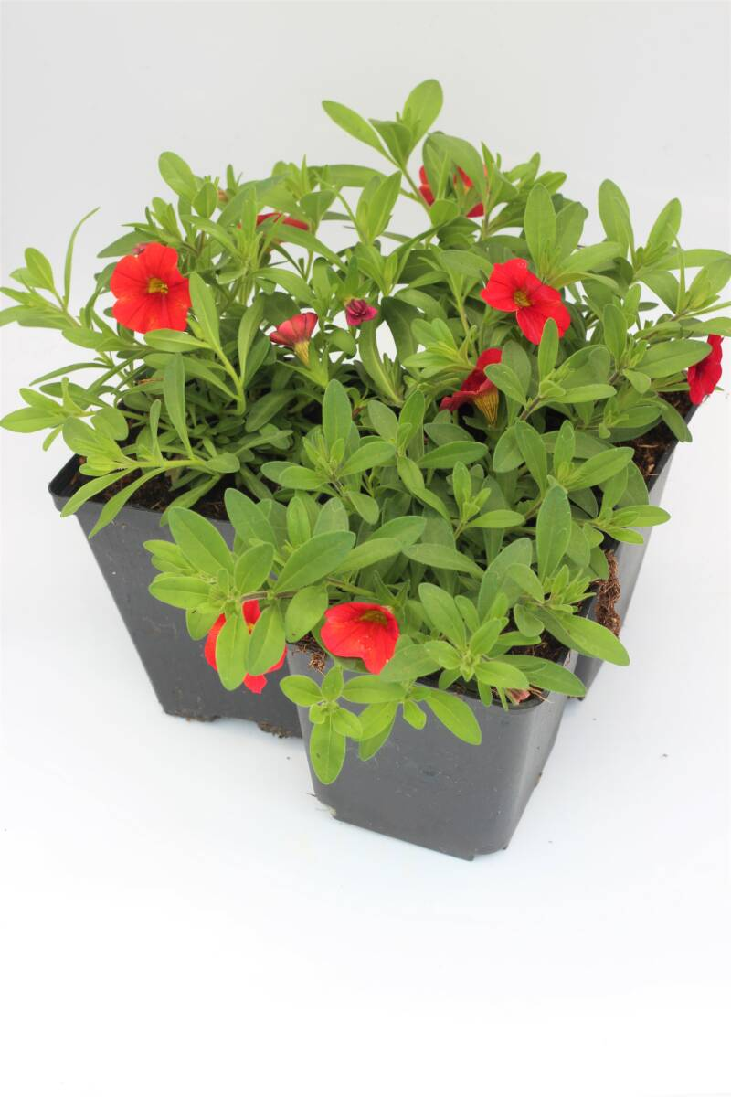 Calibrachoa rood (pot)
