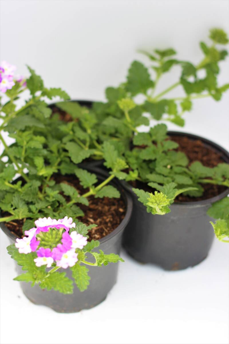Verbena wit/roze (pot)