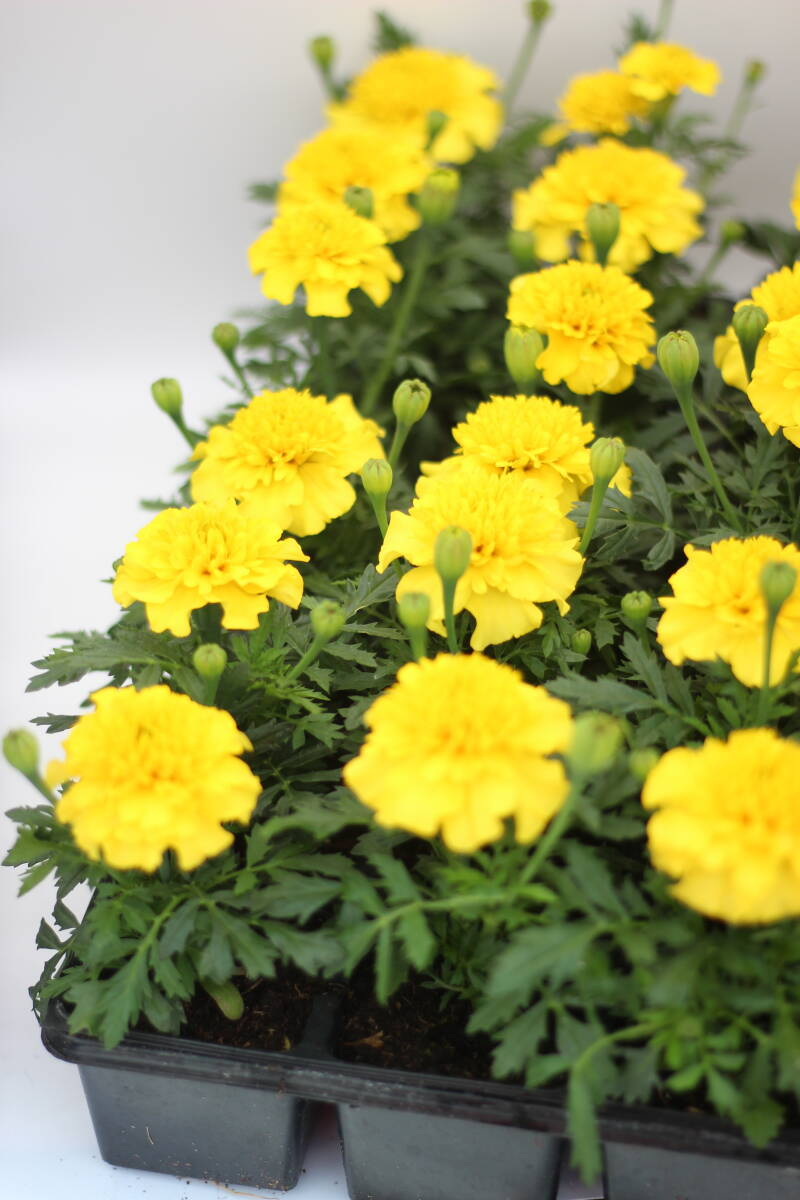 Tagetes (tray) geel