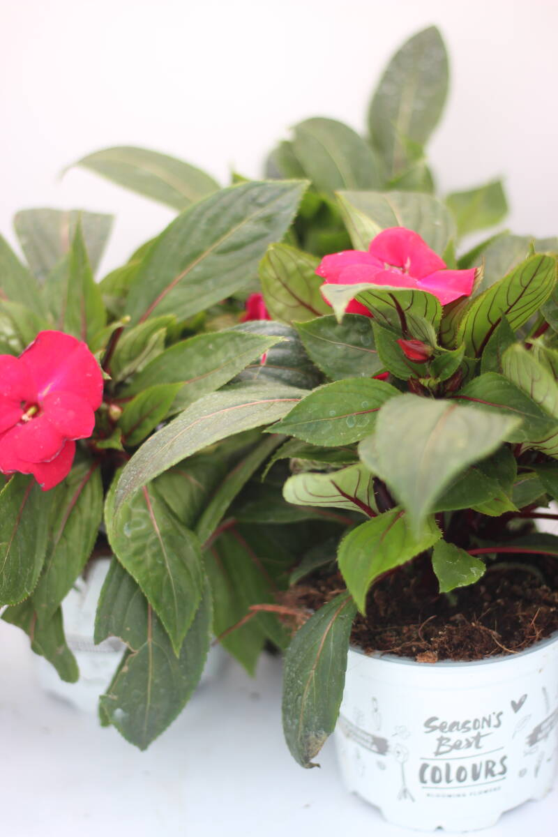 Vlijtig liesje Impatiens 'New Guinea' (pot)