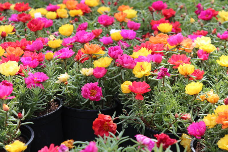 Portulaca, happy hour (pot) kleurenmix