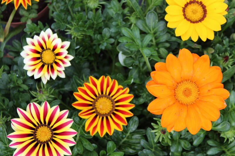 Gazania 3 (pot) Kleuren mix