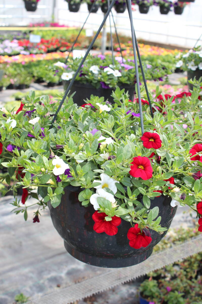 Hanging basket: Calibrachoa (rood, wit, paars)