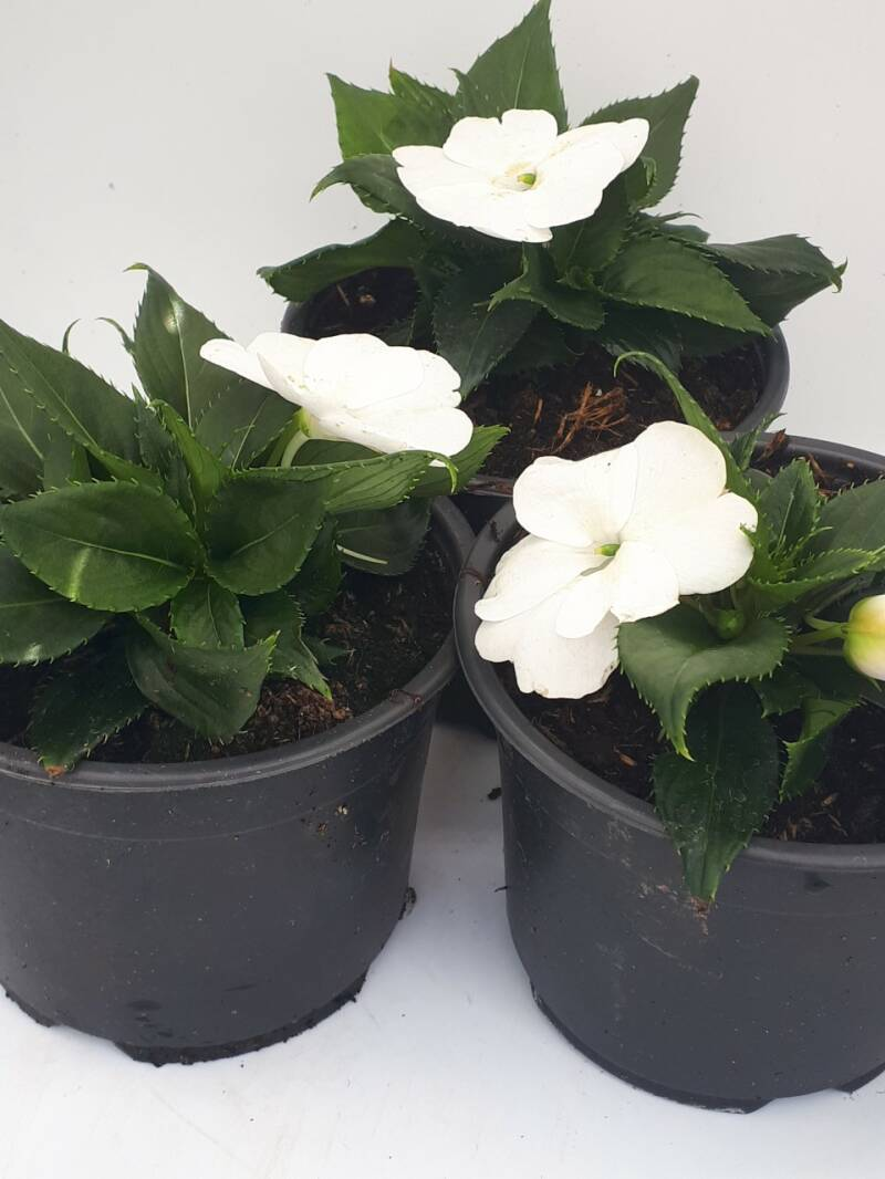 Sun Impatiens (pot) wit