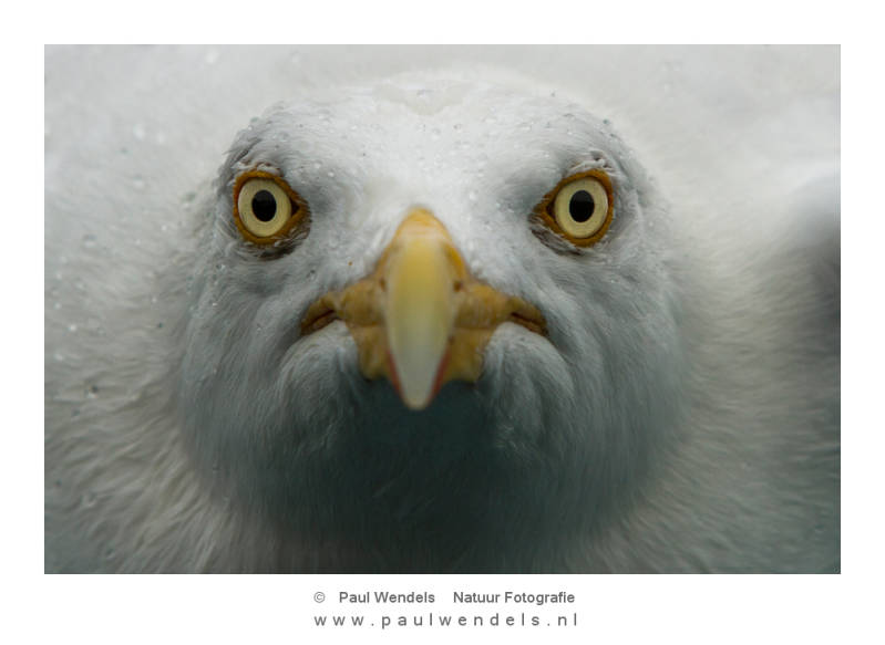 Meeuw-portret-kop-frontaal-natuurfoto-vogel-close-up-zee--1.jpg
