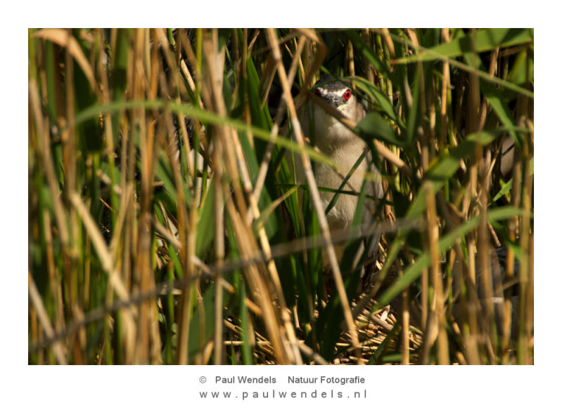 bird-kwak-nature-vogel-riet-kiekeboe--1.jpg