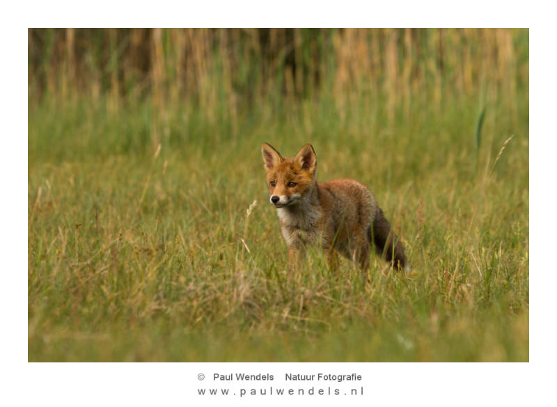 rode-vos-pup-red-fox-nature-natuur-jonge-welp-.jpg
