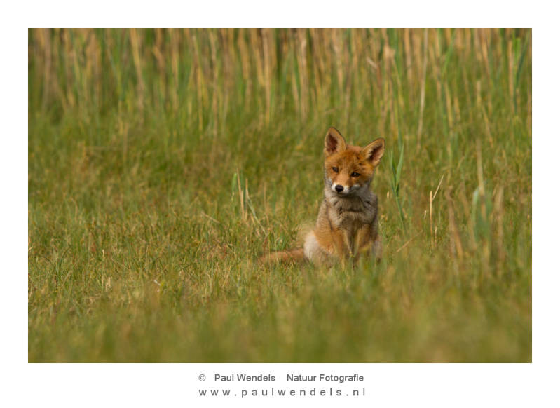 rode-vos-pup-red-fox-nature-natuur-jonge-welp.jpg
