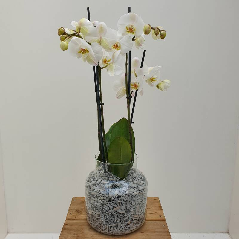 "Orchid in vase ""White"""