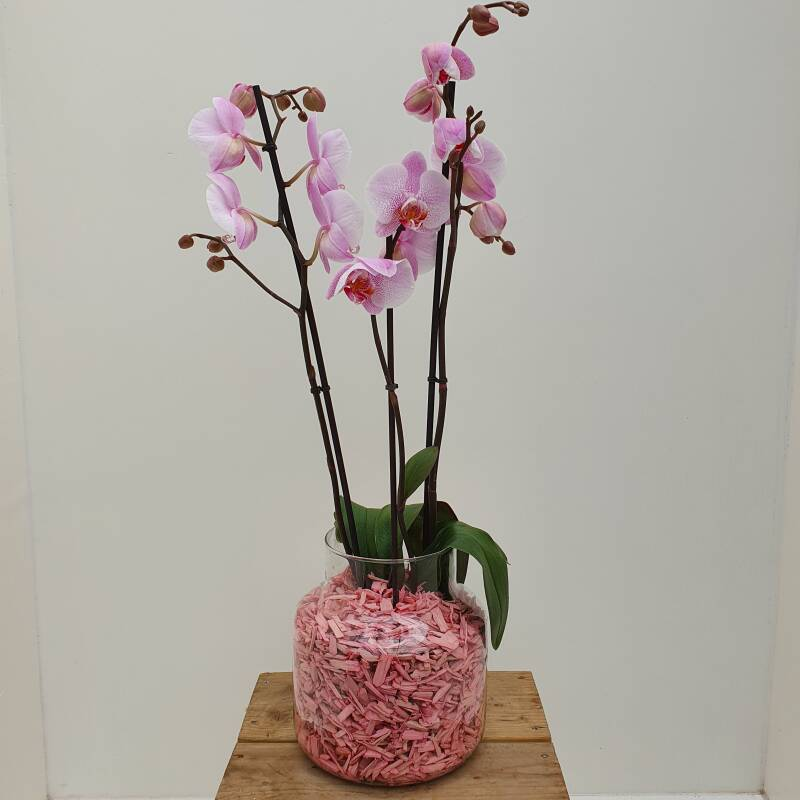 """Orchid in vase """"Pink"""""""