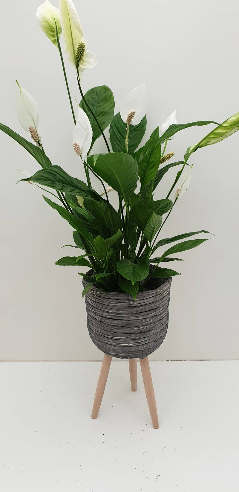 Spathiphyllum in mand