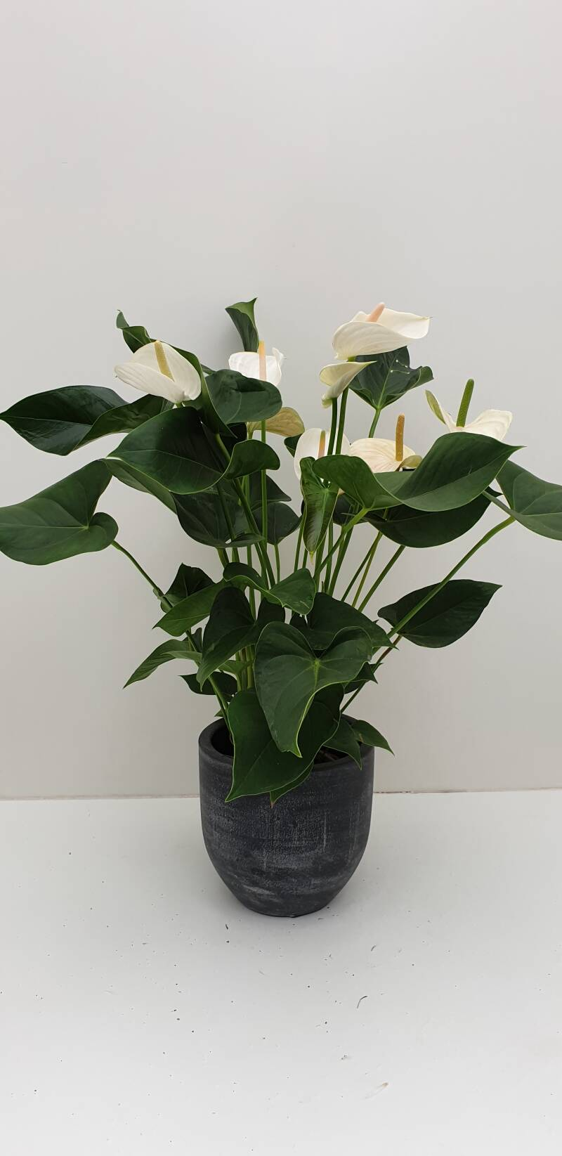 Anthurium (wit) in pot