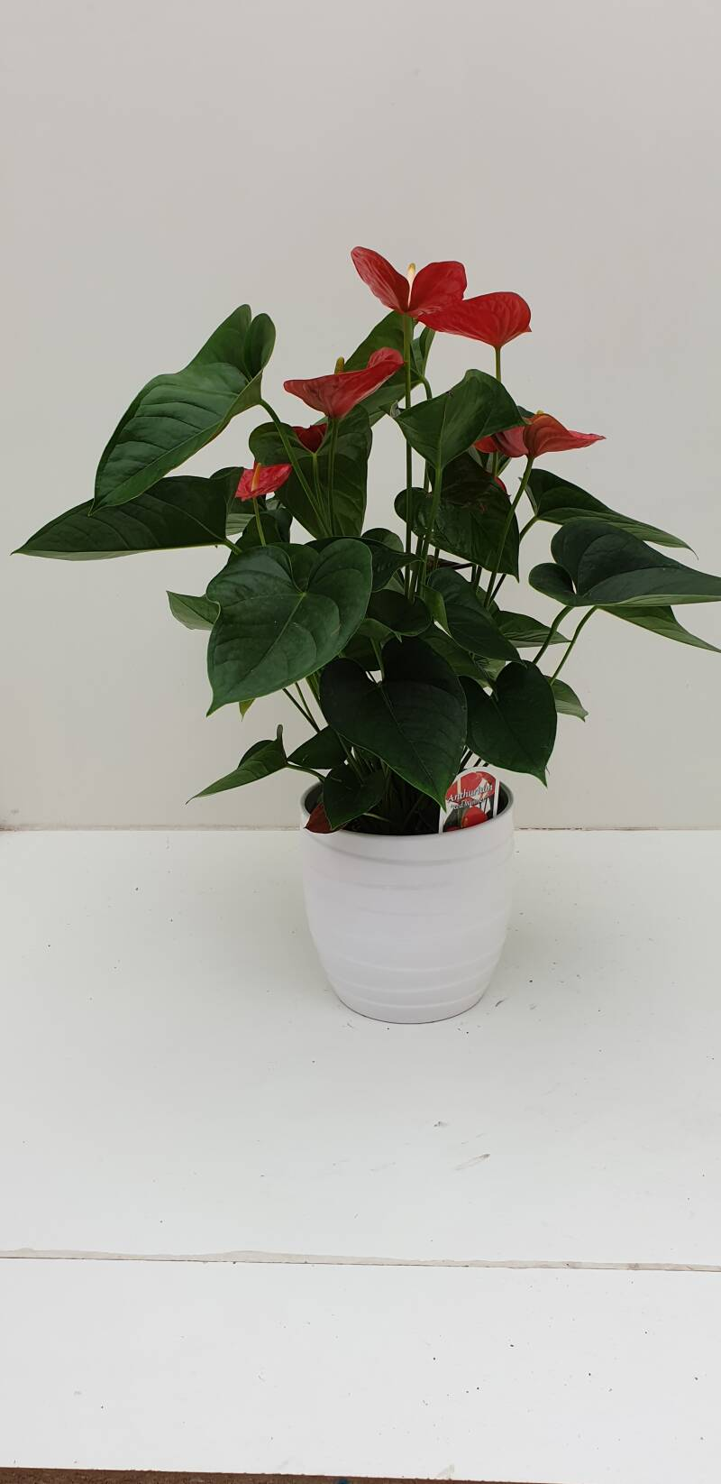 Anthurium (rood) in pot