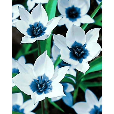Blue Eye Tulips