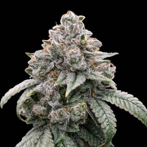 5 PACK - BUDDA KUSH (FEMINIZED)