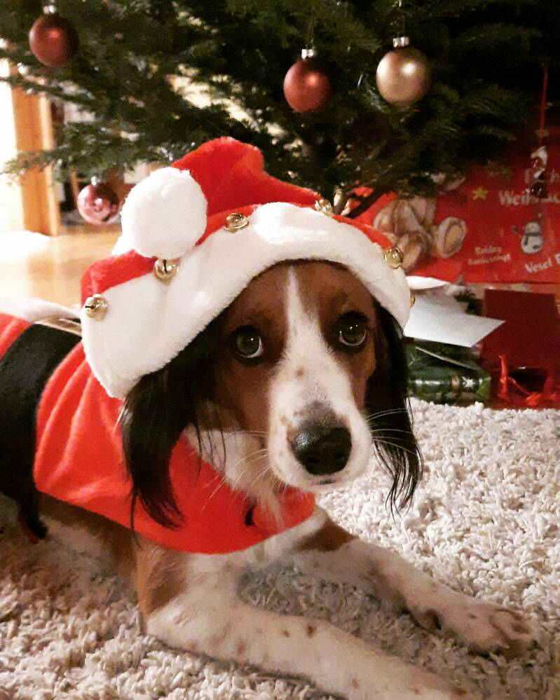 Advent calendar for healthy puppies, young and grown-up dogs 1.0 – Calendar for starting with dog fitness training (digital version)