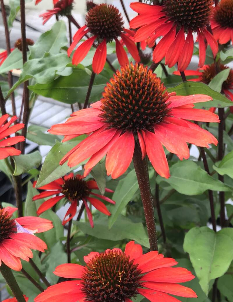 Echinacea purp. 'Sunseekers Red'   --  Rode Zonnehoed