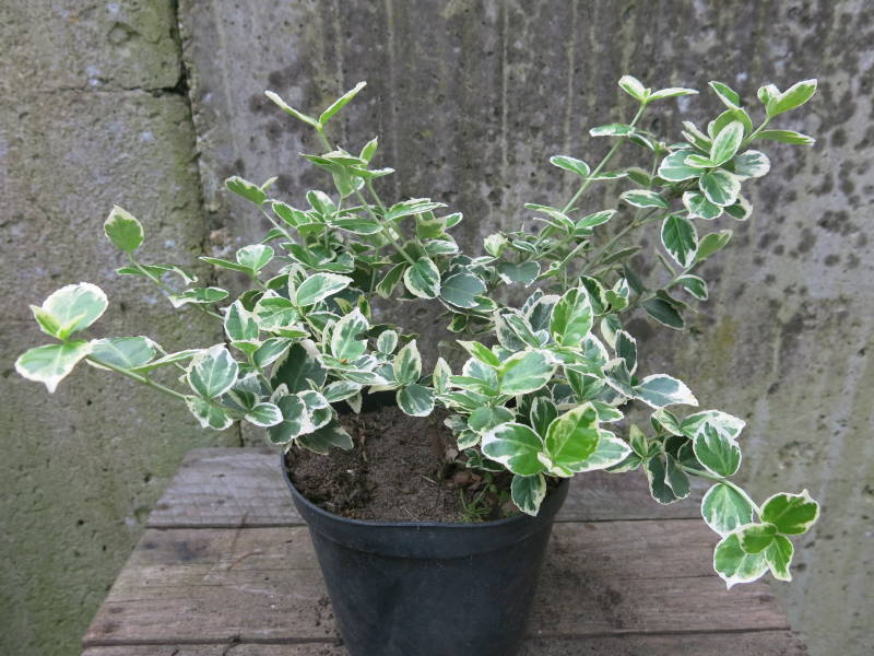 Euonymus witbont
