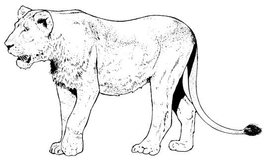 SW N13078/164 Lioness small