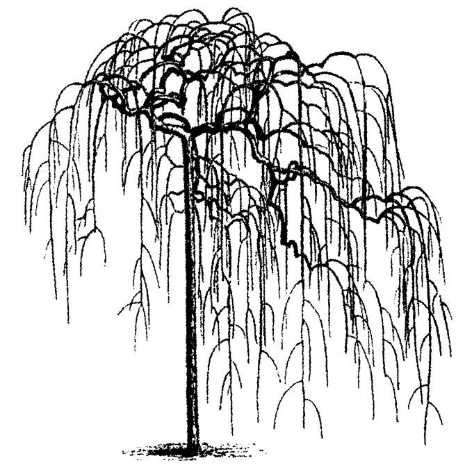 NS Q7912 Weeping willow