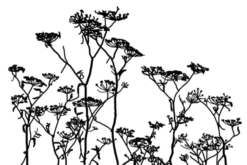 NS R10604 Field of Queen Anne's lace