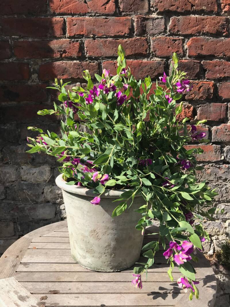 Polygala in pot