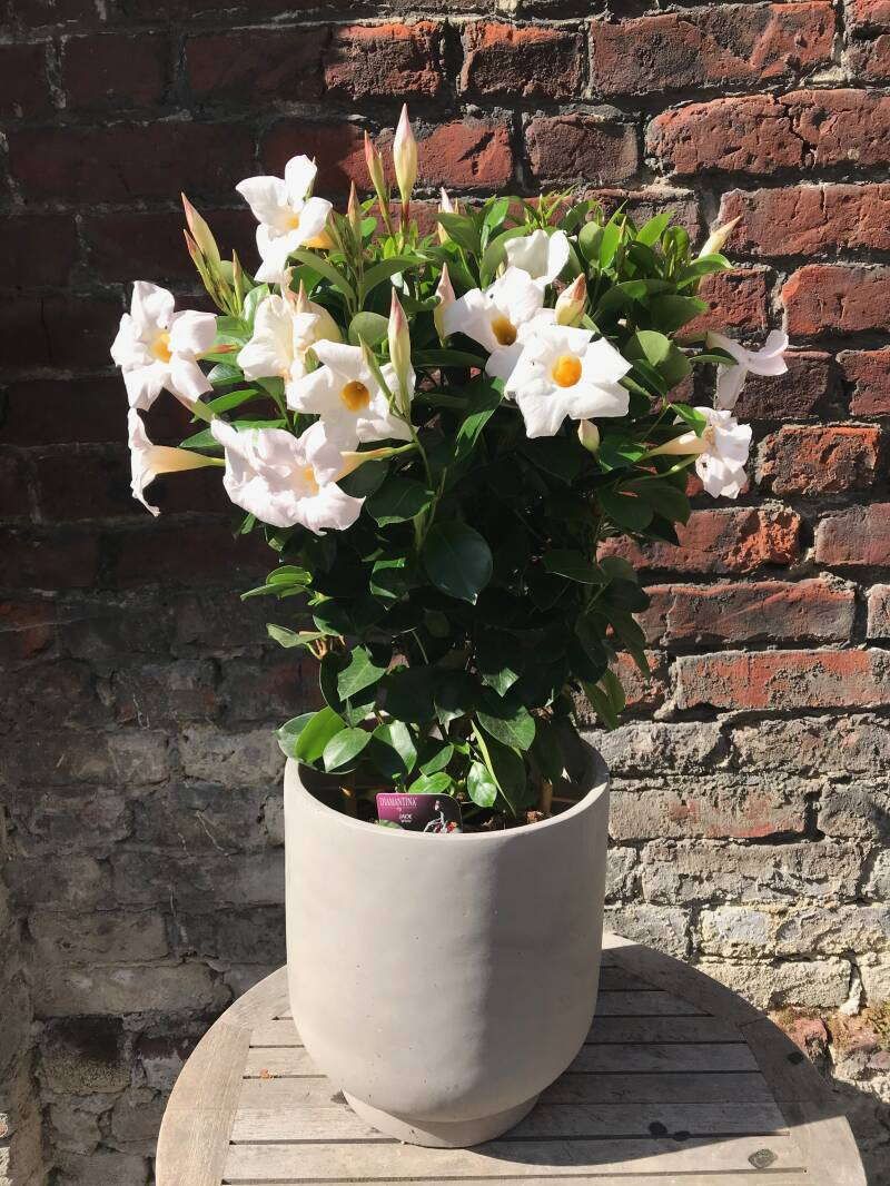 Mandevilla in pot
