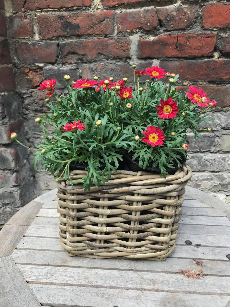 Anthemis rood in mand
