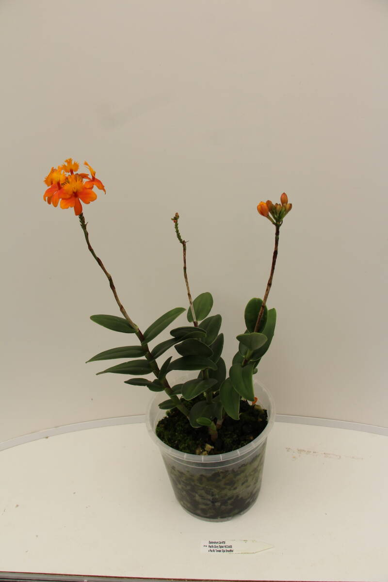 Epidendrum Pacific Glory 'Spike'HCC/AOS x 'Pacific Tomato 'Ojal Smoothie'' 8