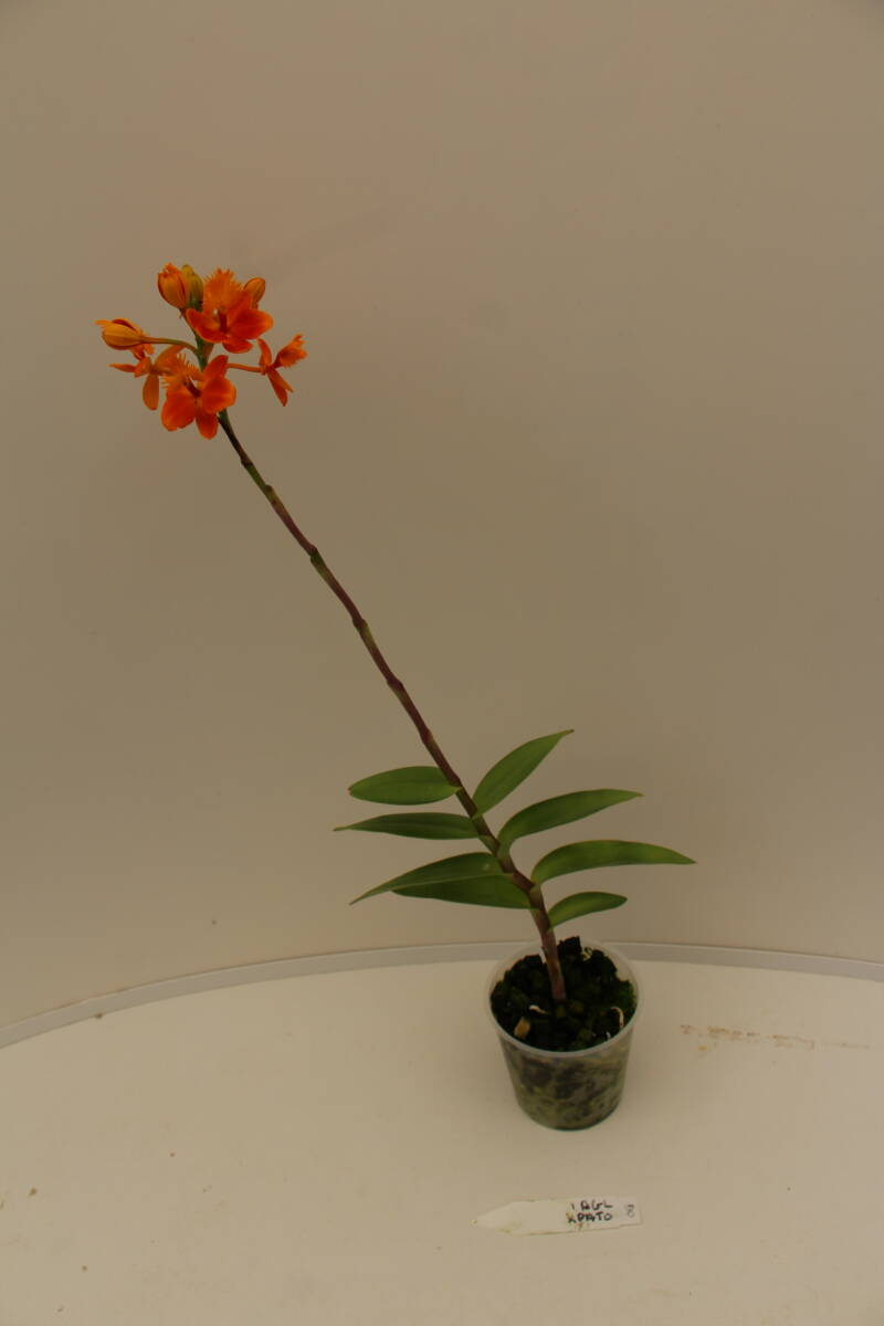 Epidendrum Pacific Glory 'Spike'HCC/AOS x 'Pacific Tomato 'Ojal Smoothie'' 2