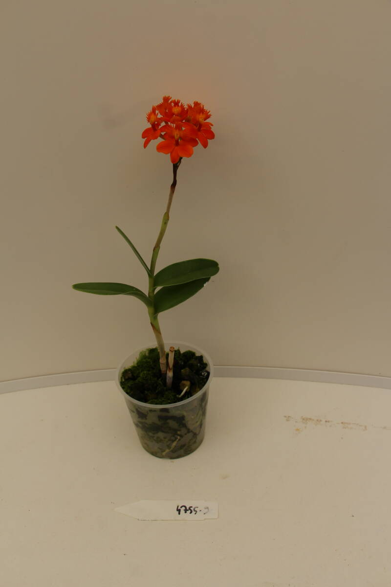 Epidendrum Pacific Glory 'Spike'HCC/AOS x 'Pacific Tomato 'Ojal Smoothie'' 9