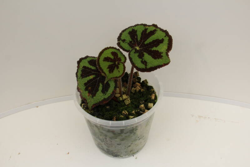 Begonia sp. Vietnam division of original plants.