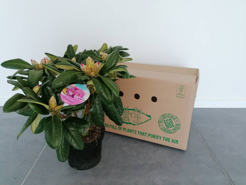 Rhododendron roze 5L