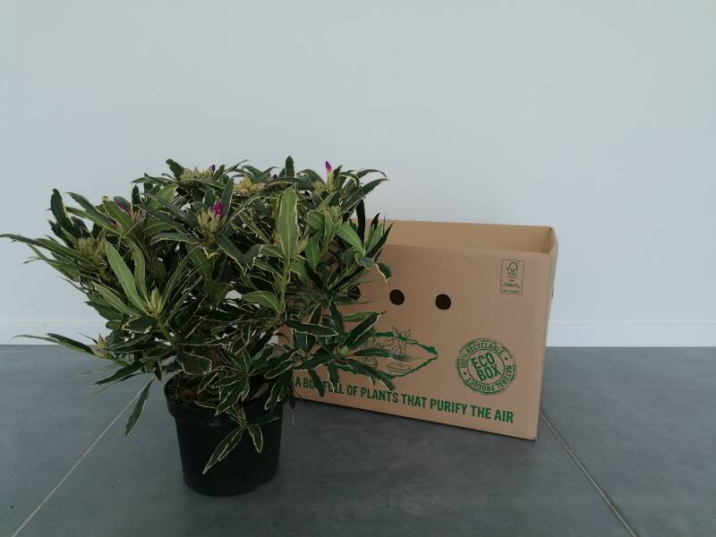 Rhododendron paars 5L
