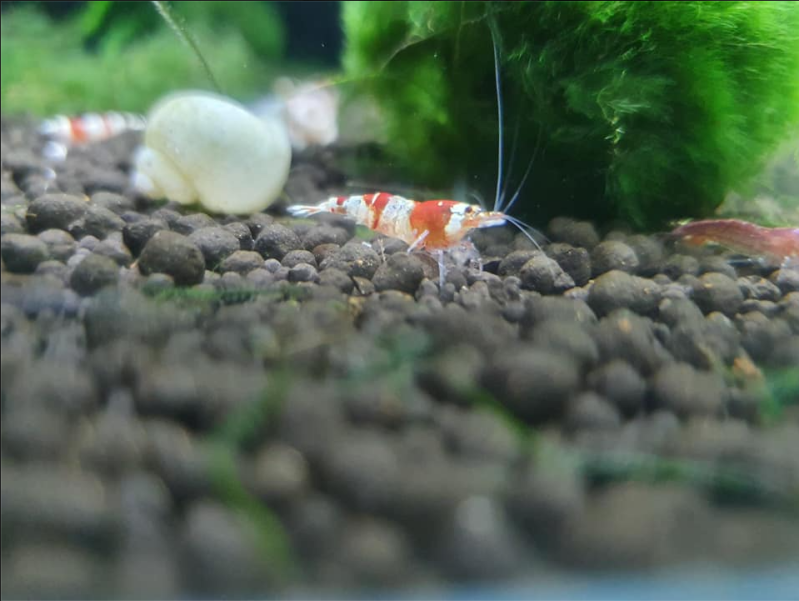 Crystal Red Garnalen Caridina