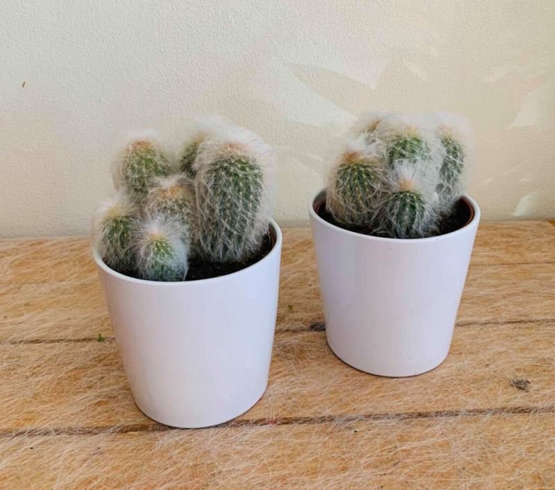 Cactus in witte pot
