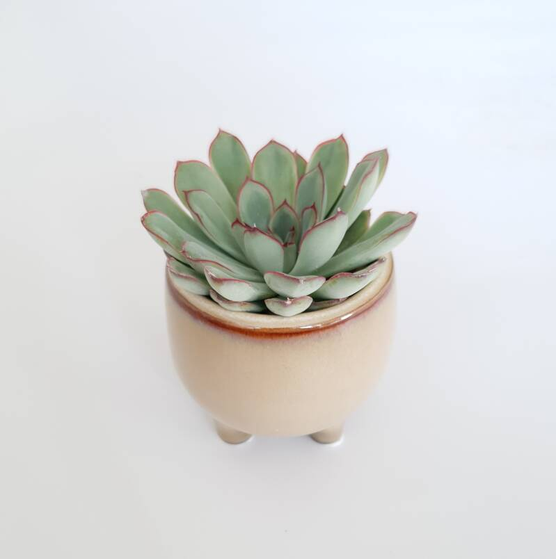 Echeveria in potje
