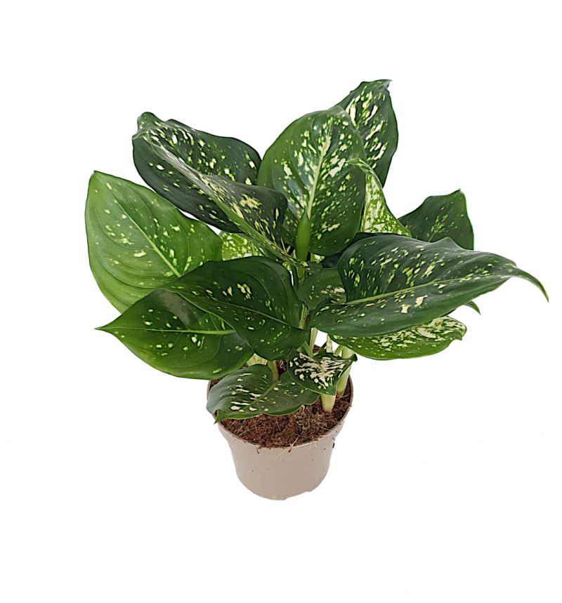 Aglaonema 'White star'