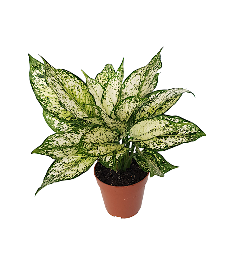 Aglaonema 'First Diamond' | Ø12cm H34cm