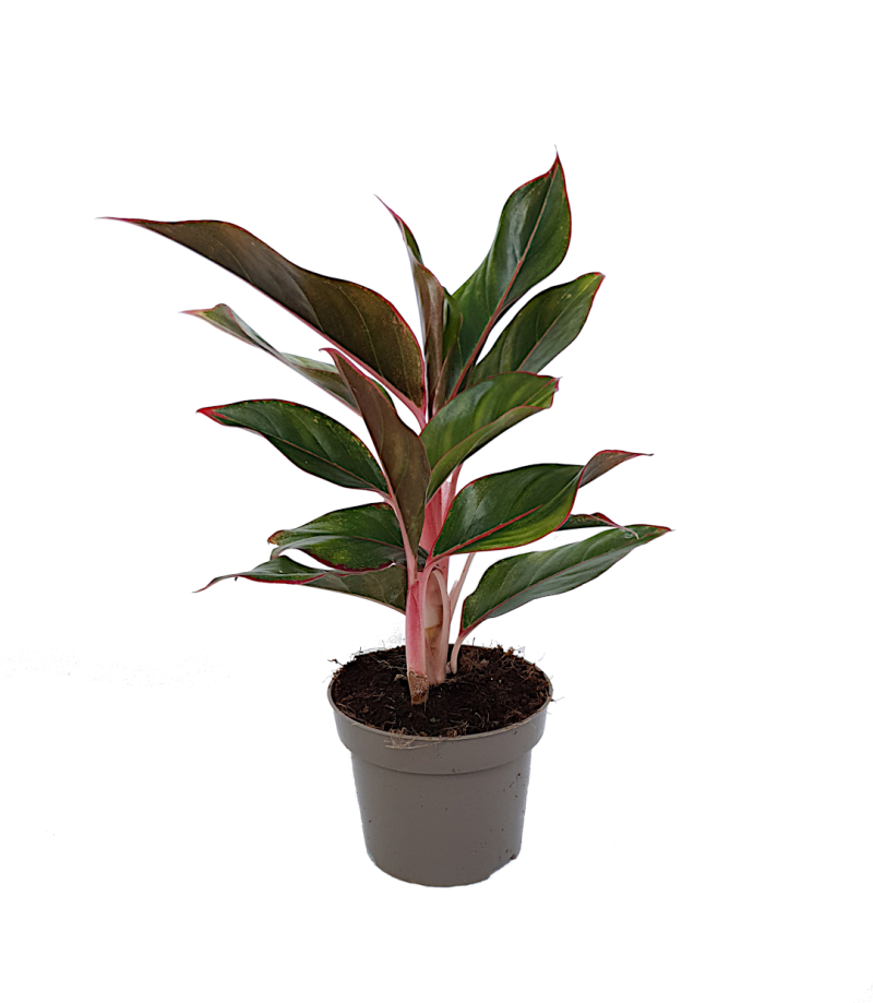 Aglaonema 'Light Pink Star'