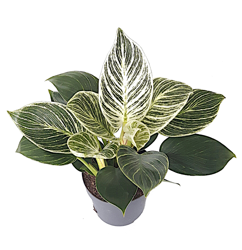 Philodendron Birkin/ 'White Measure'