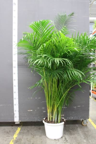 Dypsis Lutescens EXTRA