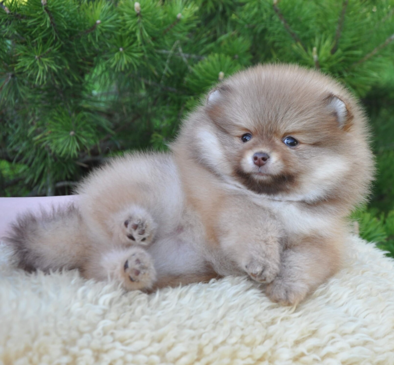Pomeranian choco/sable teefje, carrier Isabella