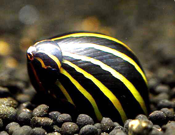 NERITINA SP. BIG LINE ZEBRA 1,5-2  *