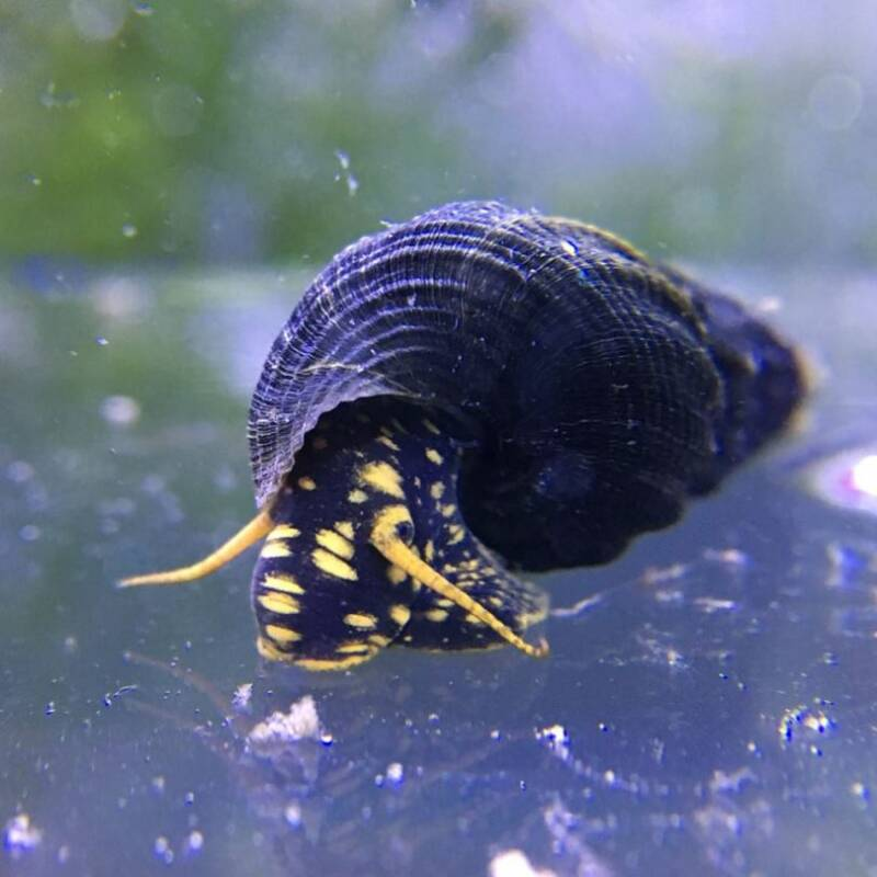 SNAIL YELLOW SPOTTED 5-6  *