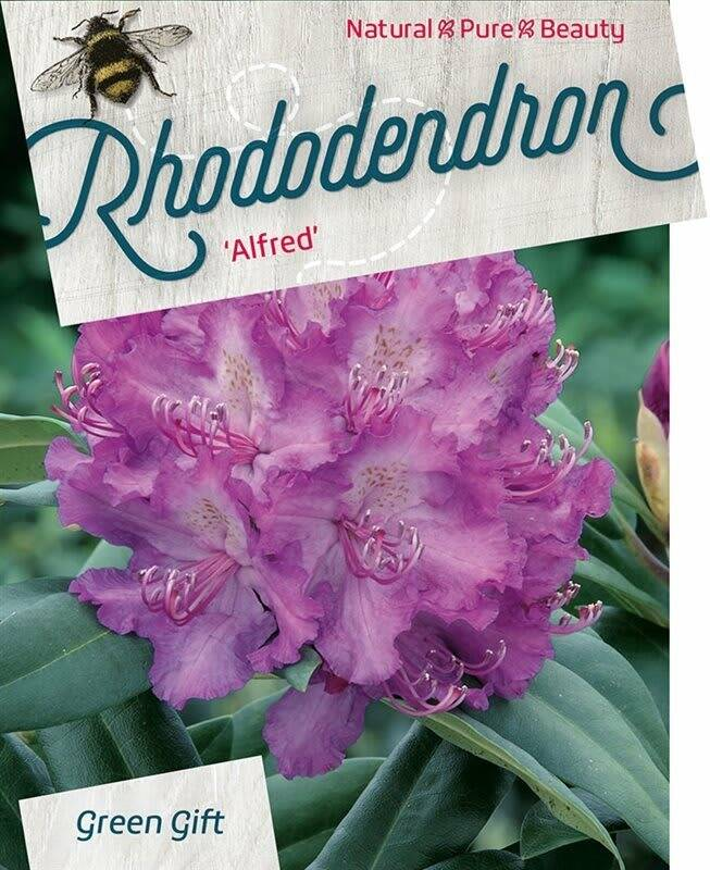 Rhododendron 'Alfred' Purple 60-80