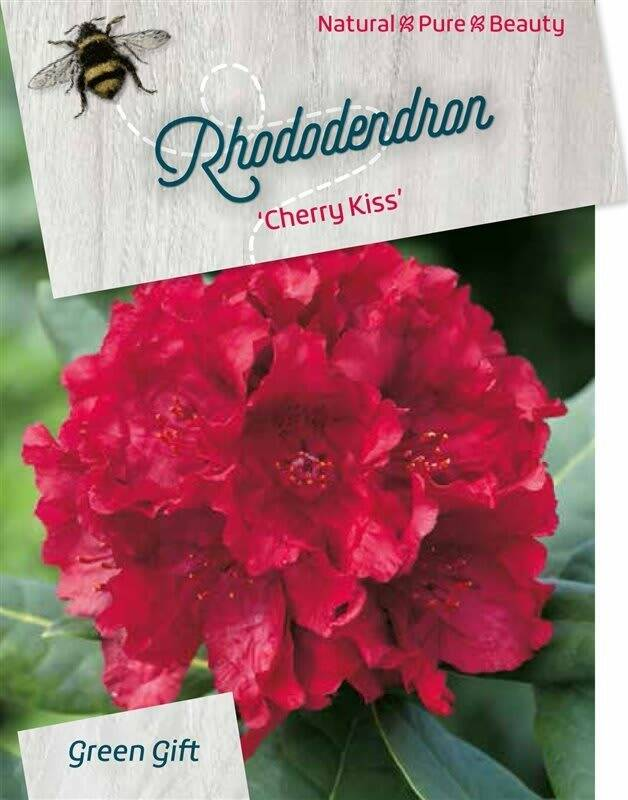 Rhododendron 'Cherry Kiss' Red 60-70