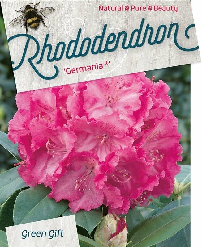 Rhododendron 'Germania' Roze 60-70