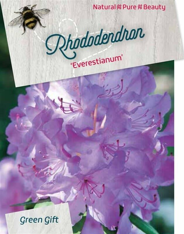 Rhododendron 'Everestianum' Paars 60-80