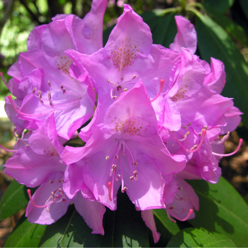 Rhododendron 'Roseum Elegans' (rododendron)